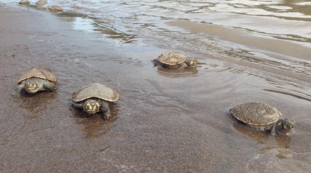 Nuestros voluntarios liberando tortugas marinas en el océano.